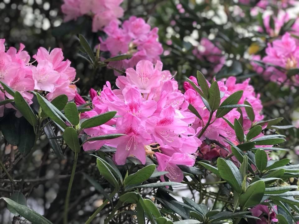 4月25日しゃくなげの森開花情報