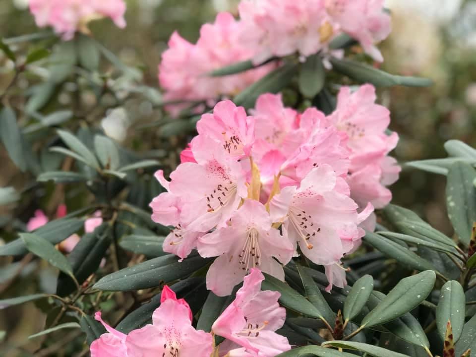 4月4日のしゃくなげの森開花情報