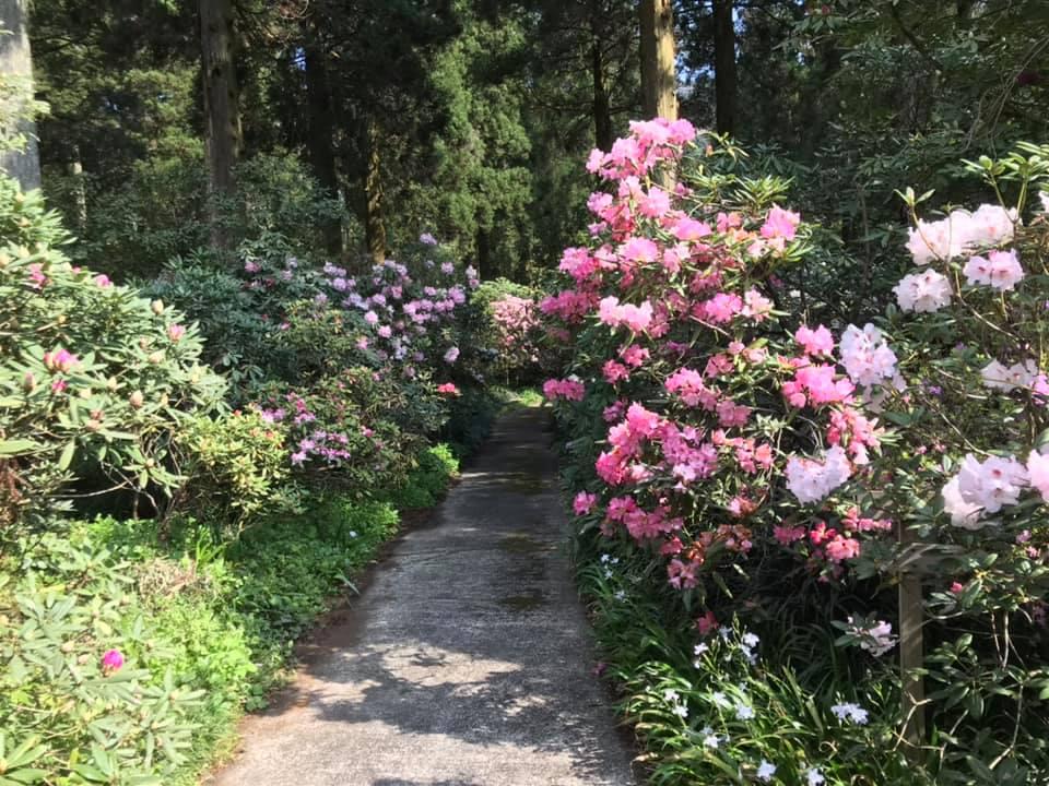 4月6日のしゃくなげの森開花情報