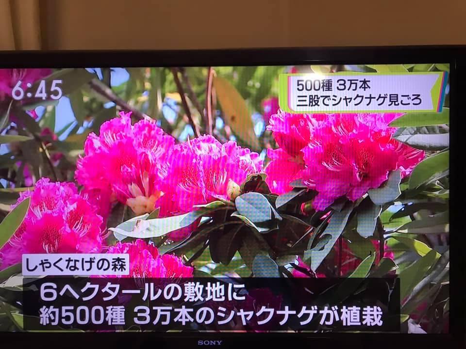 MRTのニュースでシャクナゲ花祭り紹介