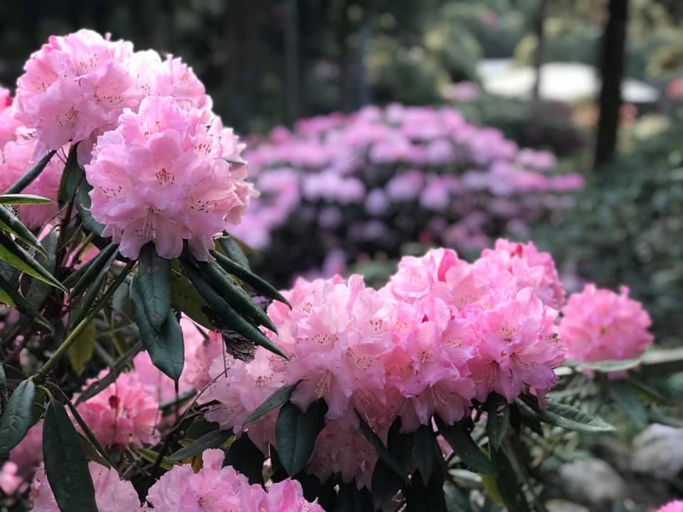 4月13日しゃくなげの森開花情報
