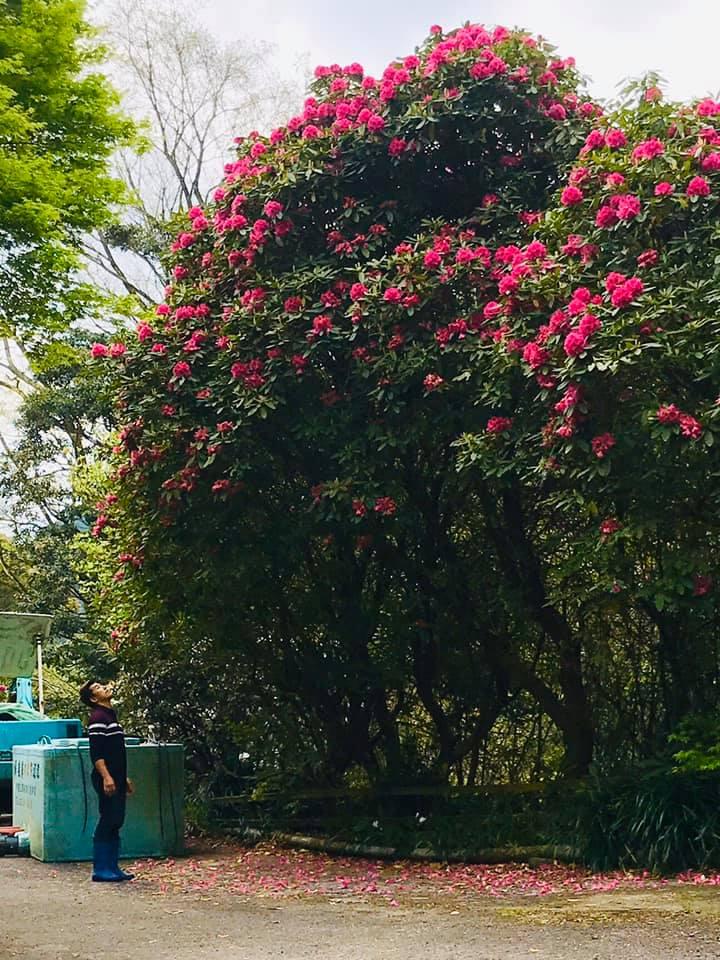 シャクナゲの大木