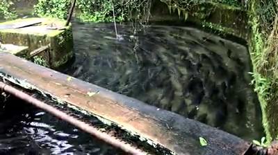 尺ヤマメの養殖池
