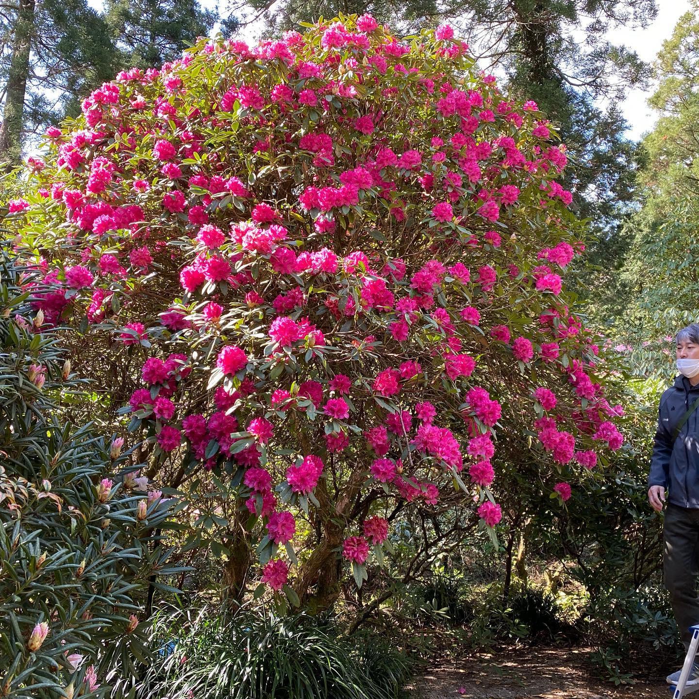 3月28日しゃくなげの森開花情報